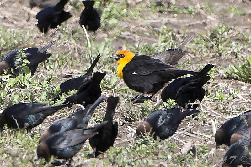 "Yellow-headed Blackbird <br /> Columbia Bottom Conservation Area <br /> 2009-04-15 <br /> Photo by Al Smith <br /> <font color = gray> See all this day's </font> <a  href=""http://www.photosbyat.com/gallery/7914358_yz32c#513374824_FzDis""> <font color = gray>Photos Here</font></a>"