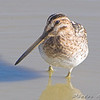 "Wilson's Snipe <br /> Missouri Bottom Road <br /> 2008-10-19 <br /> Photo by Al Smith <br /> <font color = gray> See all this day's </font> <a  href=""http://www.photosbyat.com/gallery/6309519_MA22S"" target=""_blank""> <font color = gray>Photos Here</font></a>"