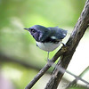 "Black-throated Blue Warbler <br /> Tower Grove Park <br /> 2009-09-02 14:31:19 <br /> Photo by Al Smith <br /> <font color = gray> See all this day's </font> <a href=""http://www.photosbyat.com/Birds/Birding-2009-September/2009-09-02-Tower-Grove-Park/9499889_GgLLE#638032850_rsTUu"" target=""_blank""> <font color = gray>Photos Here</font></a>"