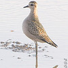 "Golden Plover <br /> Missouri Bottom Road <br /> 2008-10-19 <br /> Photo by Al Smith <br /> <font color = gray> See all this day's </font> <a  href=""http://www.photosbyat.com/gallery/6309519_MA22S"" target=""_blank""> <font color = gray>Photos Here</font></a>"