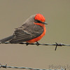 Vermilion Flycatcher <br /> Perry County <br /> 1/1/2012 <br /> Photo by Al Smith