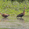 Black-bellied Whistling Ducks <br /> Private lake next to Otter Slough <br /> State Wildlife Management Area <br /> 2008-08-19 14:19:44 <br /> Photo by Al Smith