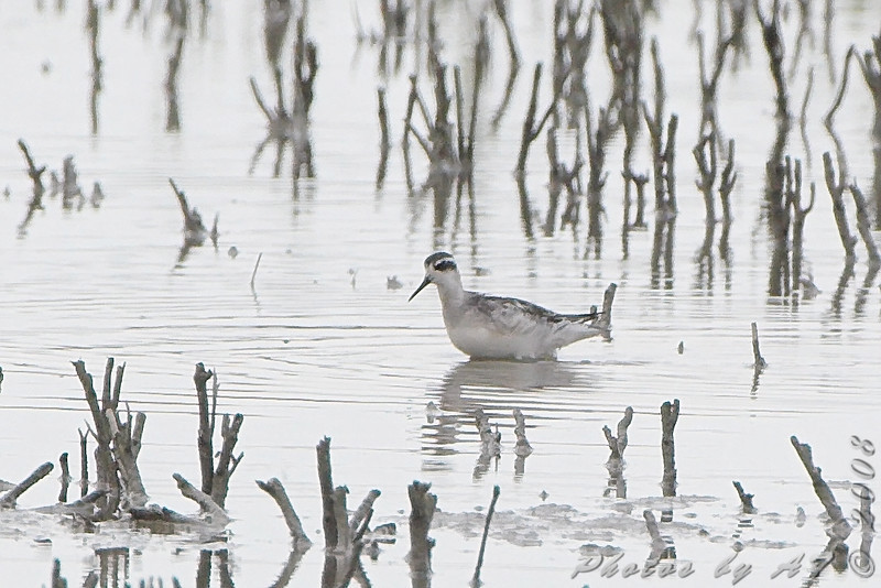 Red-necked Phalarope <br /> Firma and Dalbow road intersection <br /> 2008-08-10 <br /> Photo by Al Smith