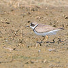 "Semipalmated Plover <br> Keeteman Rd/Old Monroe sod farm <br> 2008-08-03 15:22:30 <br> Photo by Al Smith <br> <font color = gray> See all this day's </font> <a  href=""http://www.photosbyat.com/gallery/5612268_ZPPFF""> <font color = gray>Photos Here</font></a>"