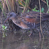 "Virginia Rail <br /> Pintail Pond Drainage Channel <br /> Riverlands Migratory Bird Sanctuary <br /> 2009-09-06 17:39:52 <br /> Photo by Al Smith <br /> <font color = gray> See all this day's </font> <a href=""http://www.photosbyat.com/Birds/Birding-2009-September/2009-09-06-RMBS/9541843_fx9we#642874896_zxbKW"" target=""_blank""> <font color = gray>Photos Here</font></a>"