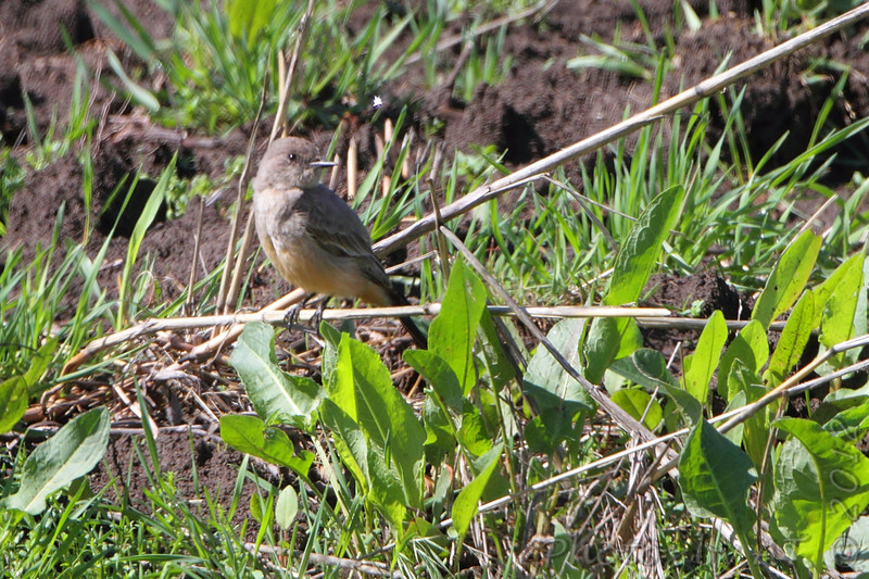 Say's Phoebe <br /> Capital View Access <br /> Just northwest of Jefferson City <br /> 3/22/2012 <br /> Photo by Al Smith