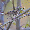 "Lincoln's Sparrow <br /> Riverlands Migratory Bird Sanctuary <br /> 2008-10-25 <br /> Photo by Al Smith <br /> <font color = gray> See all this day's </font> <a  href=""http://www.photosbyat.com/gallery/6365934_LPviY"" target=""_blank""> <font color = gray>Photos Here</font></a>"