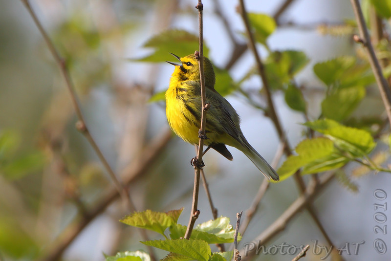 """Prairie Warbler <br /> Weldon Spring Conservation Area <br /> 2010-04-22 09:16:39 <br /> Photo by Al Smith <br /> <font color = gray> See all this day's </font> <a href=""""http://www.photosbyat.com/gallery/11931680_hyzdL#844992890_SJeak"""" target=""""_blank""""> <font color = gray>Photos Here</font></a>"""