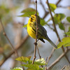 "Prairie Warbler <br /> Weldon Spring Conservation Area <br /> 2010-04-22 09:16:39 <br /> Photo by Al Smith <br /> <font color = gray> See all this day's </font> <a href=""http://www.photosbyat.com/gallery/11931680_hyzdL#844992890_SJeak"" target=""_blank""> <font color = gray>Photos Here</font></a>"