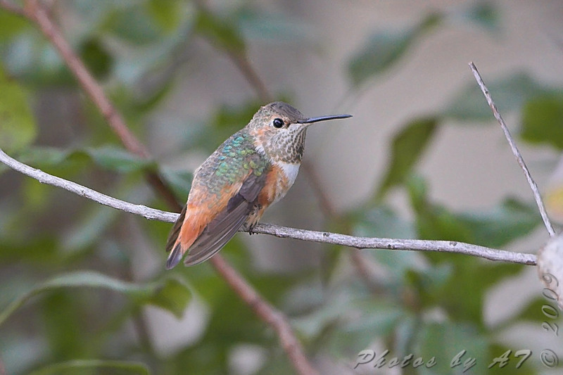"""Allen's Hummingbird <br> (Immature male) <br> Fenton Missouri <br> 2008-12-04 16:06:31 <br> Photo by Al Smith <br>  <br /> First Missouri Record  <br /> <a href=""""http://www.hummingbirds.net/alhu.html"""" target=""""_blank"""">Banders measurements and photos here</a> <br /> <br /> <font color = gray> See all this day's </font> <a href=""""http://www.photosbyat.com/gallery/6739024_C7hAv#430418842_3u5nn""""> <font color = gray>Photos Here</font></a>"""