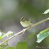 "Golden-crowned Kinglet <br /> Tower Grove Park, St. Louis <br /> 2008-10-16 <br /> Photo by Al Smith <br /> <font color = gray> See all this day's </font> <a  href=""http://www.photosbyat.com/gallery/6284313_GqA75"" target=""_blank""> <font color = gray>Photos Here</font></a>"