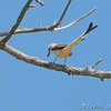 "Scissor-tailed Flycatcher  <br /> Hwy N and I64 St. Charles County <br /> 07-23-2008 <br /> Photo by Al Smith <br /> <font color = gray> See all this day's </font> <a  href=""http://www.photosbyat.com/gallery/5515193_nhL3m"" target=""_blank""> <font color = gray>Photos Here</font></a>"