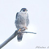 "Peregrine Falcon <br /> Riverlands Migratory Bird Sanctuary <br /> 2008-11-23 <br /> Photo by Al Smith <br /> <font color = gray> See all this day's </font> <a  href=""http://www.photosbyat.com/gallery/6634273_d6czG"" target=""_blank""> <font color = gray>Photos Here</font></a>"