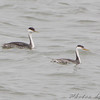 "Western and Clark's Grebe  <br /> Smithville Lake <br /> 2009-11-14 11:19:17 <br /> Photo by Al Smith <br /> 5th Mo. record of Clark's Grebe <br /> <font color = gray> See all this day's </font> <a href=""http://www.photosbyat.com/gallery/10318962_G4PNc#713728925_VysUp"" target=""_blank""> <font color = gray>Photos Here</font></a>"