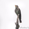 Western Wood-Pewee <br /> Lake Lotawana, MO <br /> 6/11/2012 <br /> Potential 1st Missouri record <br /> Photo by Al Smith