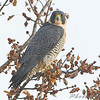 """Peregrine Falcon <br> Intersection of Red School and <br> Cora Island Roads just south of <br> Riverlands Migratory Bird Sanctuary <br> 2008-12-18 13:11:36 <br> Photo by Al Smith <br> <font color = gray> See all this day's </font> <a  href=""""http://www.photosbyat.com/gallery/6864806_xXb9D#439121814_EAHWk""""> <font color = gray>Photos Here</font></a>"""