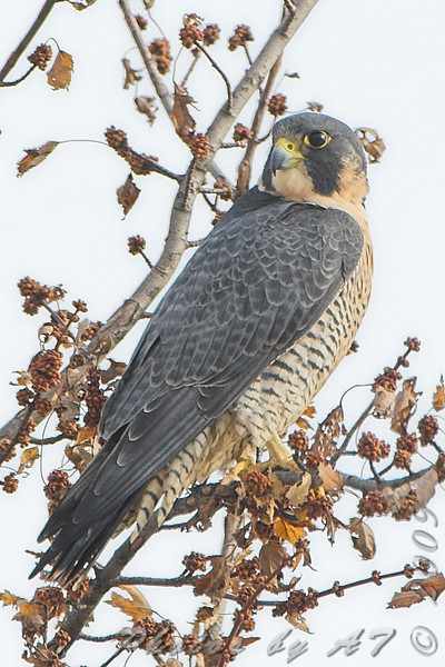 "Peregrine Falcon <br> Intersection of Red School and <br> Cora Island Roads just south of <br> Riverlands Migratory Bird Sanctuary <br> 2008-12-18 13:11:29 <br> Photo by Al Smith <br> <font color = gray> See all this day's </font> <a  href=""http://www.photosbyat.com/gallery/6864806_xXb9D#439105156_TYtRf""> <font color = gray>Photos Here</font></a>"