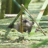 "Beaver  <br> Creve Couer Marsh <br> 2008-07-29 <br> Photo by Al Smith <br> <font color = gray> See all this day's </font> <a  href=""http://www.photosbyat.com/gallery/5594588_e9VPS""> <font color = gray>Photos Here</font></a>"