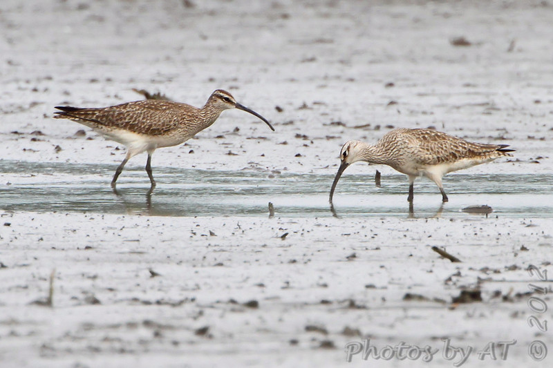 Whimbrel <br /> Eagle Bluffs Conservation Area <br /> 5/20/2012 <br /> Photo by Al Smith