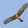 "Northern Harrier <br /> Clarence Cannon National Wildlife Refuge <br /> 2008-11-03 <br /> Photo by Al Smith <br /> <font color = gray> See all this day's </font> <a  href=""http://www.photosbyat.com/gallery/6457200_25Xg9"" target=""_blank""> <font color = gray>Photos Here</font></a>"