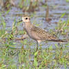 "American Golden Plover <br /> Heron Pond <br /> Riverlands Migratory Bird Sanctuary <br /> 2009-09-16 17:05:19 <br /> Photo by Al Smith <br /> <font color = gray> See all this day's </font> <a  href=""http://www.photosbyat.com/Birds/Birding-2009-September/2009-09-16-RMBS/9659456_vmKEe#651981622_6pQ4P"" target=""_blank""> <font color = gray>Photos Here</font></a>"