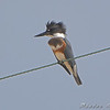 Belted Kingfisher <br /> Intersecion Glacial Sand Road <br /> and sod farm road. <br /> 2008-08-10 <br /> Photo by Al Smith