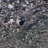"Black-throated Sparrow <br /> Savannah, MO <br /> 2009-12-12 07:43:17 <br /> Photo by Al Smith <br /> <font color = gray> See all this day's </font> <a href=""http://www.photosbyat.com/gallery/10630411_qdttL#739376337_xbVh8"" target=""_blank""> <font color = gray>Photos Here</font></a>"
