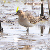 "Buff-breasted Sandpiper <br /> Heron Pond <br /> Riverlands Migratory Bird Sanctuary <br /> 2009-09-12 11:54:45 <br /> Photo by Al Smith <br /> <font color = gray> See all this day's </font> <a  href=""http://www.photosbyat.com/Birds/Birding-2009-September/2009-09-12-RMBS/9609639_GFXas#648205232_cCMZb"" target=""_blank""> <font color = gray>Photos Here</font></a>"