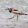 "Ruddy Turnstone <br /> Sandy Slough <br /> Winfield Lock and Dam <br /> 2009-08-11 09:06:13 <br /> Photo by Al Smith <br /> <font color = gray> See all this day's </font> <a href=""http://www.photosbyat.com/Birds/Birding-2009-August/2009-08-11-Sandy-Slough/9245145_5a9hE#617275312_wkCN7"" target=""_blank""> <font color = gray>Photos Here</font></a>"