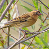 "Bobolink (female) <br /> Heron Pond <br /> Riverlands Migratory Bird Sanctuary <br /> 2009-09-16 16:52:49  <br /> Photo by Al Smith <br /> <font color = gray> See all this day's </font> <a  href=""http://www.photosbyat.com/Birds/Birding-2009-September/2009-09-16-RMBS/9659456_vmKEe#651995060_hiSQ9"" target=""_blank""> <font color = gray>Photos Here</font></a>"