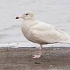"Glaucous Gull (1st cycle) <br /> Ellis Bay <br /> Riverlands Migratory Bird Sanctuary <br /> 2009-11-25 13:30:10 <br /> Photo by Al Smith <br /> <font color = gray> See all this day's </font> <a href=""http://www.photosbyat.com/gallery/10439050_Dsma5#724055026_8eyQM"" target=""_blank""> <font color = gray>Photos Here</font></a>"