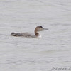 "Common Loon <br /> Creve Couer Lake <br /> 2008-11-15 <br /> Photo by Al Smith <br /> <font color = gray> See all this day's </font> <a  href=""http://www.photosbyat.com/gallery/6563510_4yzVN"" target=""_blank""> <font color = gray>Photos Here</font></a>"