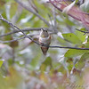 "Allen's Hummingbird (Immature male) <br /> Fenton Missouri <br /> 2008-11-28 16:29:20 <br /> Photo by Al Smith <br /> <br /> First Missouri Record <br /> <a href=""http://www.hummingbirds.net/alhu.html"" target=""_blank"">Banders measurements and photos here</a> <br /> <br /> <font color = gray> See all this day's </font> <a  href=""http://www.photosbyat.com/gallery/6678593_UgMh8"" target=""_blank""> <font color = gray>Photos Here</font></a>"