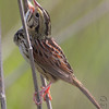 "Henslow's Sparrow <br /> Weldon Spring Site Interpretive Center Prairie <br /> Weldon Spring Conservation Area <br /> 2010-04-22 10:17:49 <br /> Photo by Al Smith <br /> <font color = gray> See all this day's </font> <a href=""http://www.photosbyat.com/gallery/11931680_hyzdL#845015934_p7PKn"" target=""_blank""> <font color = gray>Photos Here</font></a>"