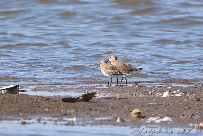 "Dunlins <br /> Riverlands Migratory Bird Sanctuary <br /> 2008-10-25 <br /> Photo by Al Smith <br /> <font color = gray> See all this day's </font> <a  href=""http://www.photosbyat.com/gallery/6365934_LPviY"" target=""_blank""> <font color = gray>Photos Here</font></a>"