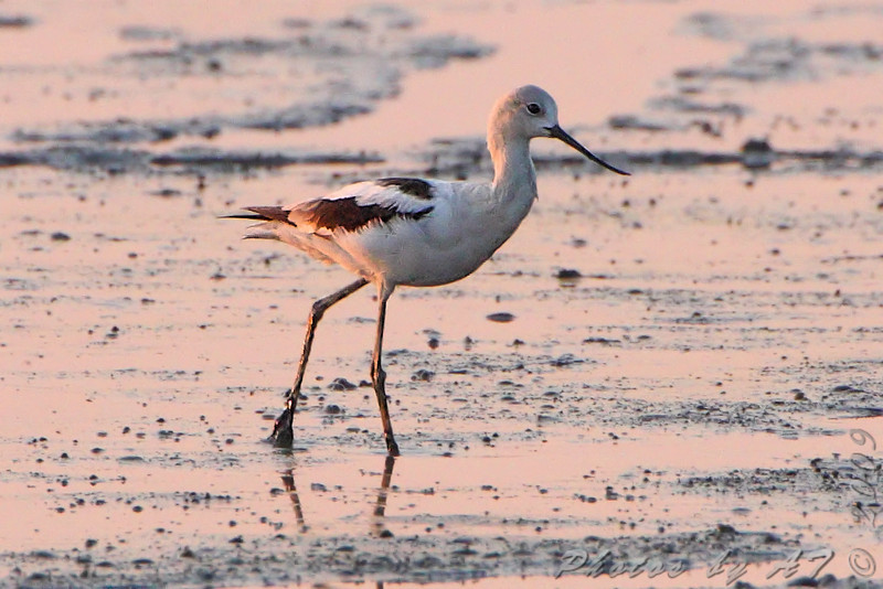 "American Avocet at sunrise <br /> Heron Pand <br /> Riverlands Migratory Bird Sanctuary <br /> 2009-09-12 07:03:22 <br /> Photo by Al Smith <br /> <font color = gray> See all this day's </font> <a href=""http://www.photosbyat.com/Birds/Birding-2009-September/2009-09-12-RMBS/9609639_GFXas#647641946_TwTDv"" target=""_blank""> <font color = gray>Photos Here</font></a>"