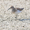 Least Sandpiper <br> Keeteman Rd/Old Monroe sod farm <br> 2008-08-03 15:22:30 <br> Photo by Al Smith <br> <font color = gray> See all this day's </font>