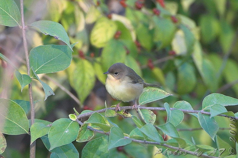 """First fall female Common Yellowthroat <br /> Bridgeton Trail <br /> 2008-10-08 <br /> Photo by Al Smith <br /> <font color = gray> See all this day's </font> <a  href=""""http://www.photosbyat.com/gallery/6193928_VkZey"""" target=""""_blank""""> <font color = gray>Photos Here</font></a>"""