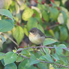 "First fall female Common Yellowthroat <br /> Bridgeton Trail <br /> 2008-10-08 <br /> Photo by Al Smith <br /> <font color = gray> See all this day's </font> <a  href=""http://www.photosbyat.com/gallery/6193928_VkZey"" target=""_blank""> <font color = gray>Photos Here</font></a>"