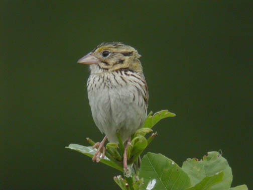 Henslow's Sparrow <br /> Photo by Jim Malone