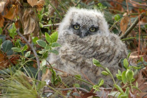 Great-horned Owlet <br /> 3/23/06 <br /> Photo by Margy Terpstra