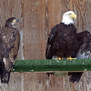 IMG_3495  The mature bald eagle is Lillith