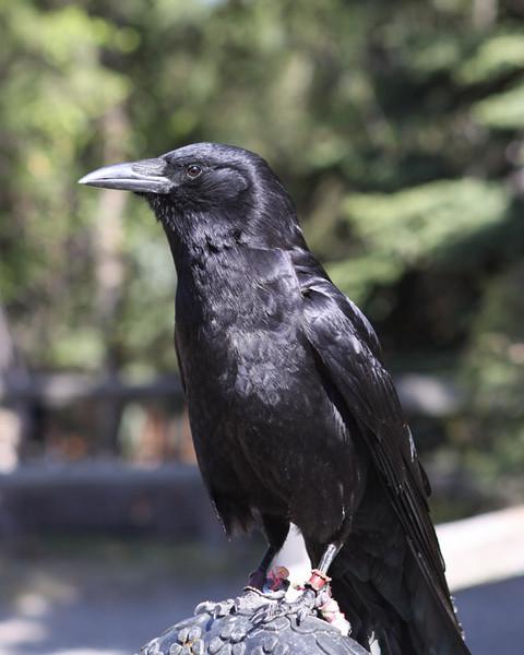 Kodi the Crow.