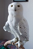 IMG_1902  Ghost the Snowy Owl