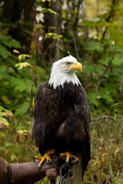 IMG_6696  Petra the Bald Eagle