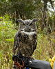 IMG_6763  Galen the Great Horned Owl