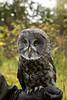 IMG_6791  Gandalf the Great Grey Owl