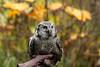 IMG_6768  Sebastian the Northern Hawk Owl