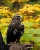 IMG_6754  Jasper the Rough Legged Hawk