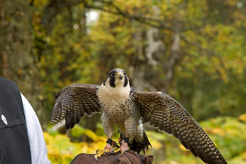 IMG_6800  Maverick the Peregrine Falcon